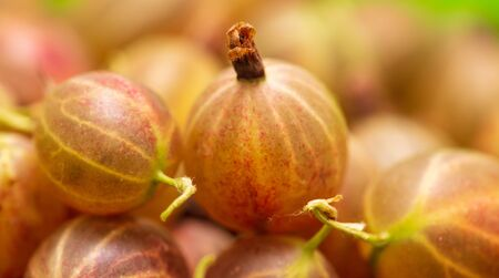 Ripe gooseberries as a background .Macro