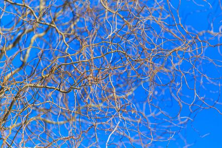 Bare branches of a curly tree on a background of blue sky. Banco de Imagens