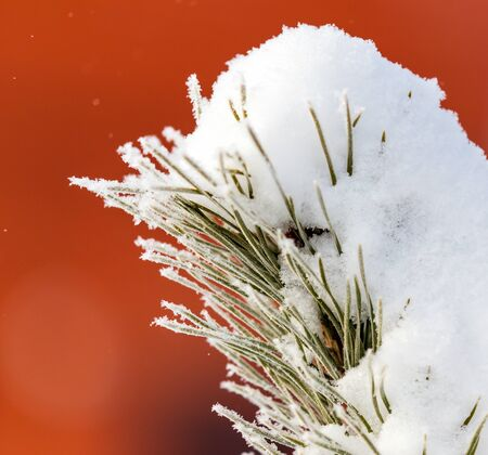 Coniferous tree branches in the snow in winter on an orange background. Stock fotó