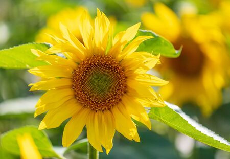 Sunflowers grow in the field. Large yellow flowers