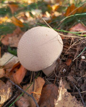 Mushroom raincoat growing in the forest.