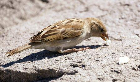 Sparrow on the ground eats bread.