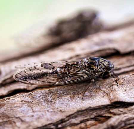 Cicada fly on tree bark.