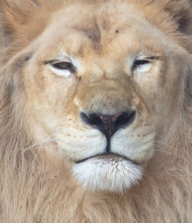Portrait of a lion in the zoo.