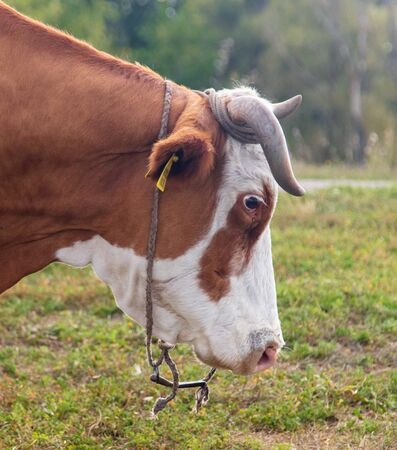 Portrait of a cow in the pasture.