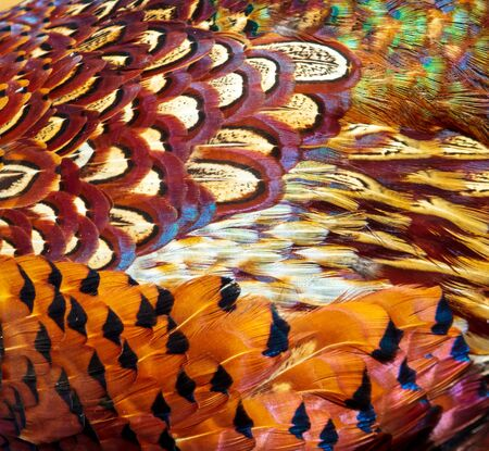 Pheasant feathers as an abstract background. Stock Photo