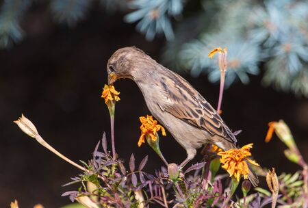 Portrait of a sparrow on flowers. 版權商用圖片