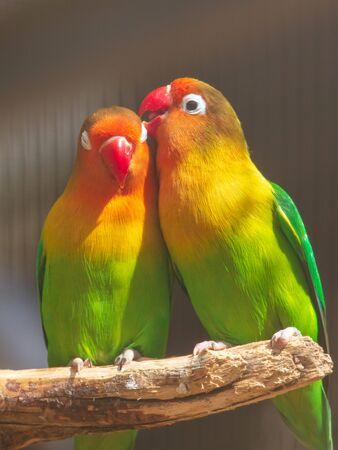 Lovebirds parrots in the zoo. Stockfoto