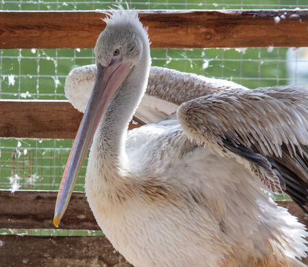 Portrait of a pelican in a zoo. 版權商用圖片