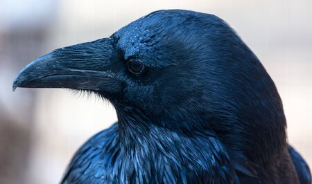 Portrait of a black raven in the park. 版權商用圖片