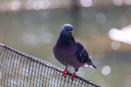 Portrait of a pigeon on the fence. 版權商用圖片