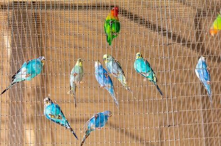 Budgies are sitting in a cage. 版權商用圖片