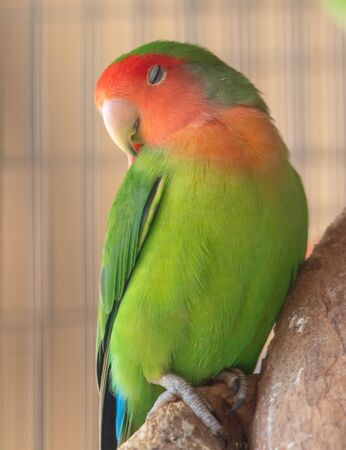 Portrait of a lovebird parrot in a cage.