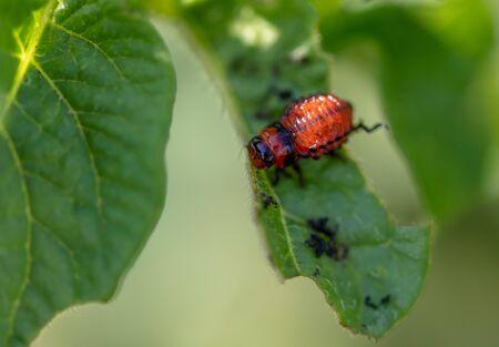 Colorado potato beetle in the garden. Macro