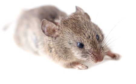 Mouse isolated on a white background.