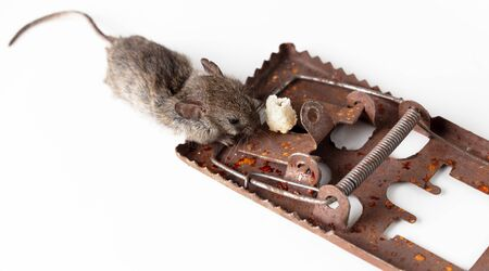 The mouse fell into a mousetrap on a white background.