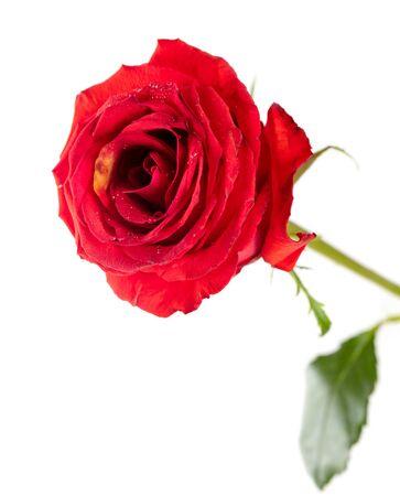 Hermosa flor rosa roja aislado en un blanco. Foto de archivo