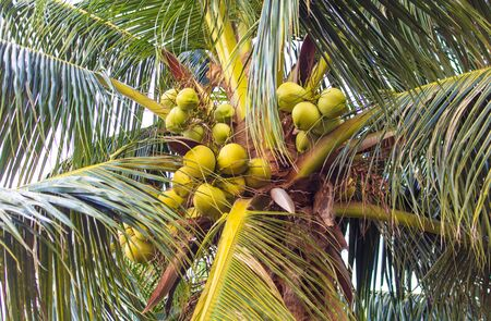 Coconut tree with nuts in the tropics.
