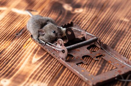 The mouse fell into a mousetrap.