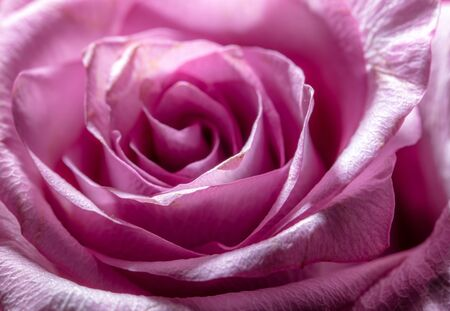 Beautiful rose flower as a background on a greeting card.