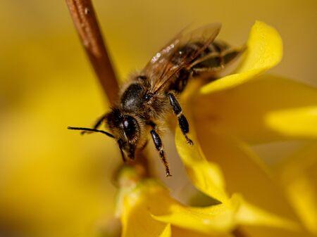Eine Biene sammelt im Frühjahr Honig von einer gelben Blume.