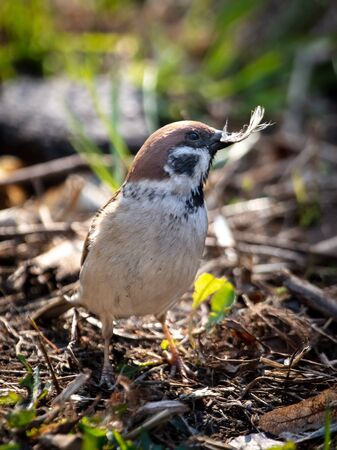 Sparrow on the ground in spring.