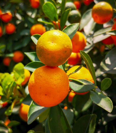 Ripe tangerines on a tree in the park.