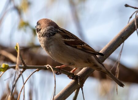 Sparrow on a tree branch against the blue sky.