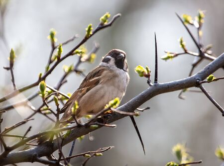 Sparrow on a branch in the spring. 版權商用圖片