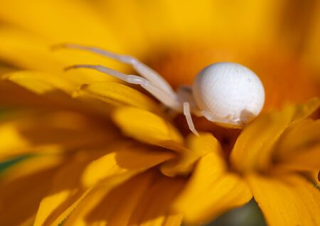 White spider on a yellow flower. Macro