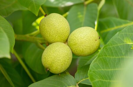 Green walnuts on the branches of a tree. Nature in the garden