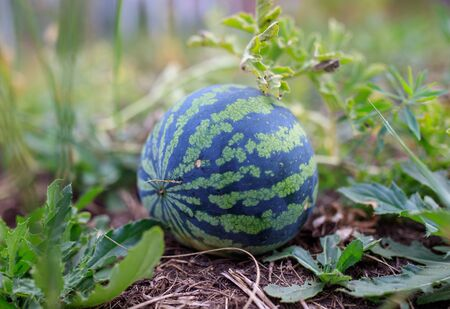 Watermelon lies on the ground in nature. Harvest in the garden