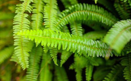 Green fern leaves in the park. Nature in the tropics.