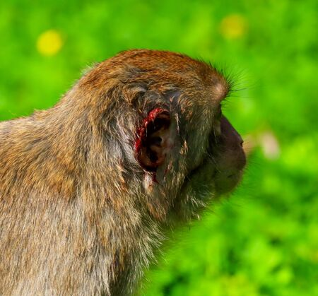 Monkey ear in the blood. The animal after the fight