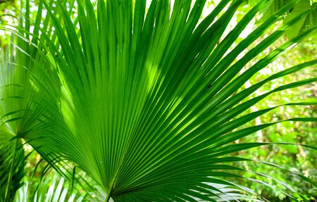 A large branch of a palm leaf. Nature in the tropics.