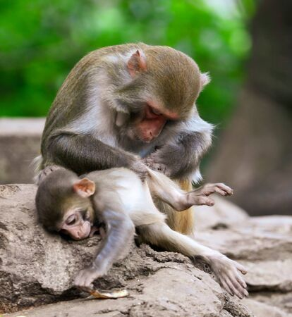 The monkey is looking for lice in the hair. Animal mammal