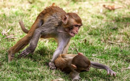 Monkey fight in the park. Animal mammal