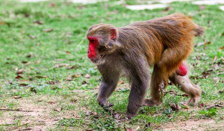 Monkey runs on the grass in the park. Animal mammal