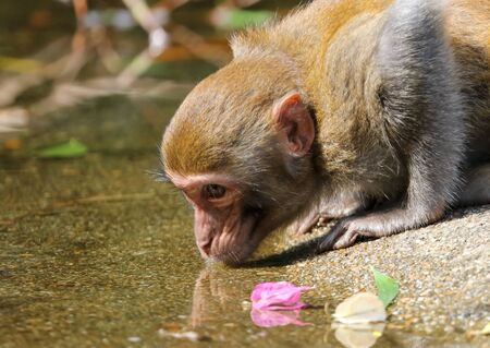 A monkey drinks water in a pond in a park. Animal mammal