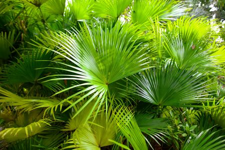 Leaves of palm trees in the park. Nature in the tropics.