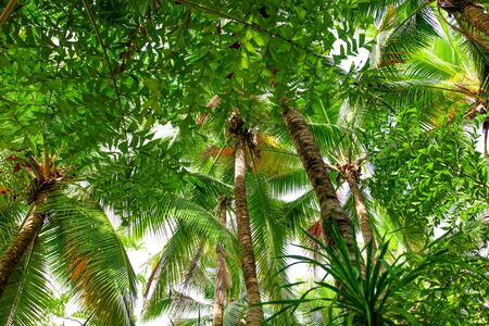Thickets of palm trees in the park. Nature in the tropics.