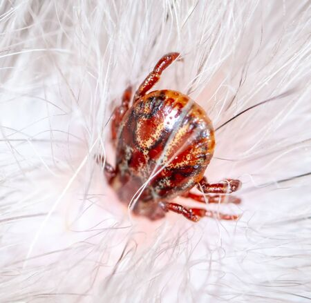 A tick drinks blood in the hair of a cat. Macro Banque d'images