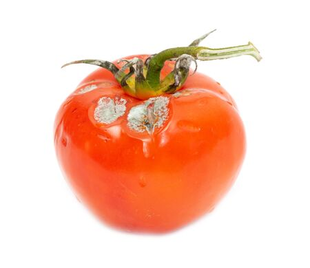 Mold on a rotten tomato is isolated on a white background.