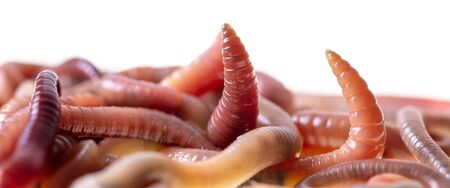 Earthworms isolated on a white background.