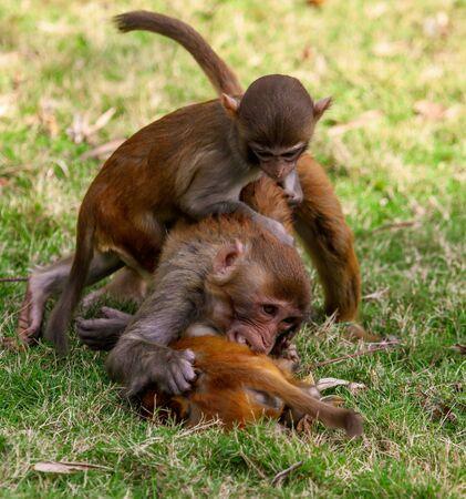 Monkey fight in the park. Animal mammal