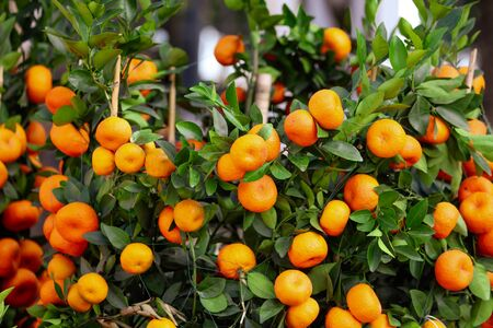 Ripe tangerines on the branches of a tree on nature.