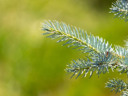 Green coniferous tree branch in the park on nature.