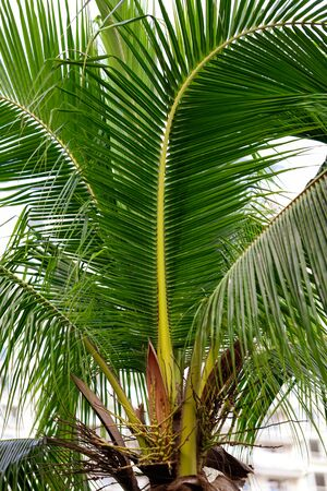 Large green branches on coconut trees in the tropics.