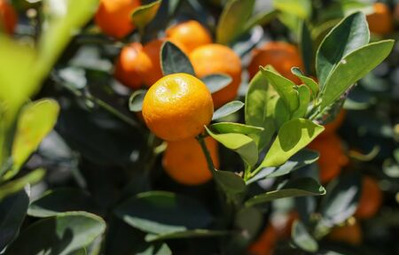 Ripe tangerines on the branches of a tree on nature. Stok Fotoğraf