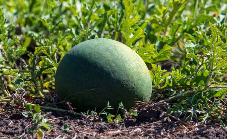 Watermelon lies on the ground in nature. Harvest in the garden.